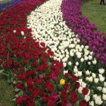 Abril, mês de tulípas em Istambul